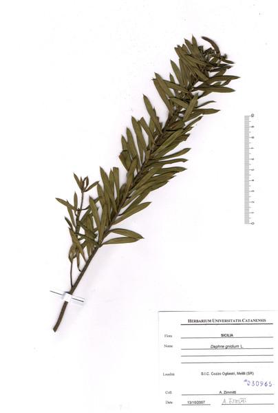 Daphne gnidium L.
