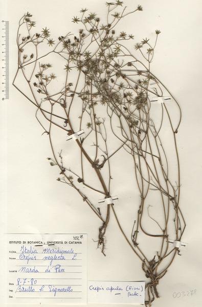 Crepis apula (Fiori) Babc.