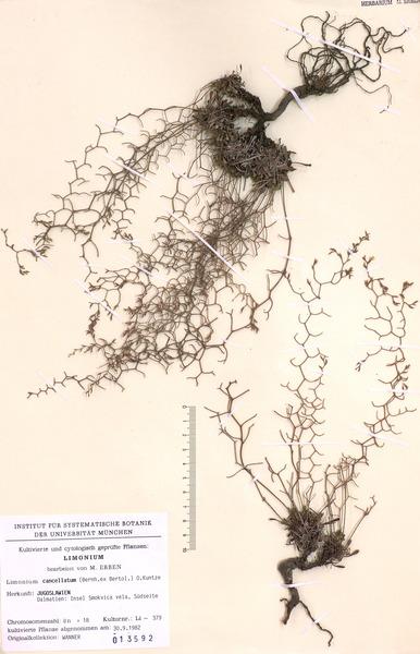 Limonium cancellatum (Bertol.) Kuntze