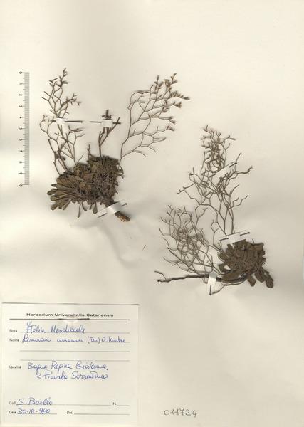 Limonium cumanum (Ten.) Kuntze