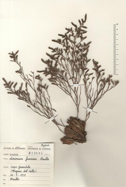 Limonium furnarii Brullo