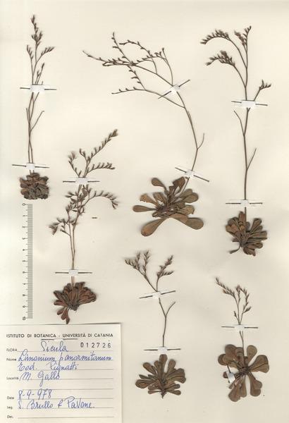 Limonium panormitanum (Tod.) Pignatti