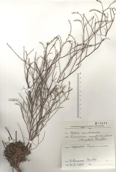 Limonium remotispiculum (Lacaita) Pignatti