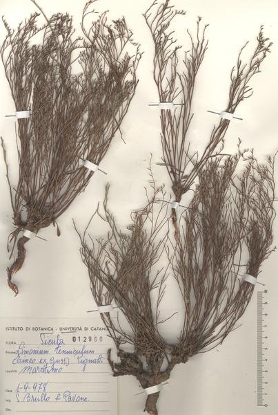 Limonium tenuiculum (Tineo ex Guss.) Pignatti