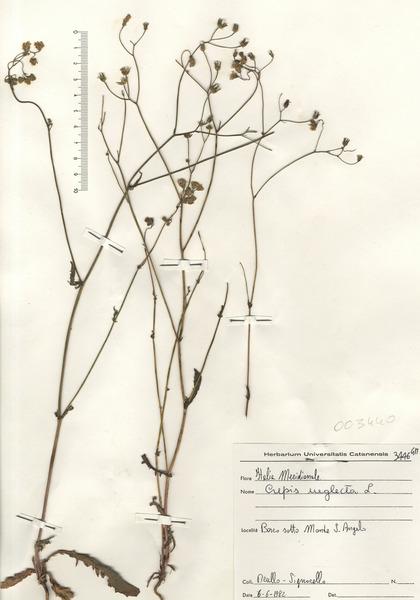 Crepis neglecta L. subsp. neglecta