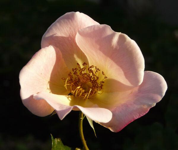 Rosa 'Irish Elegance'