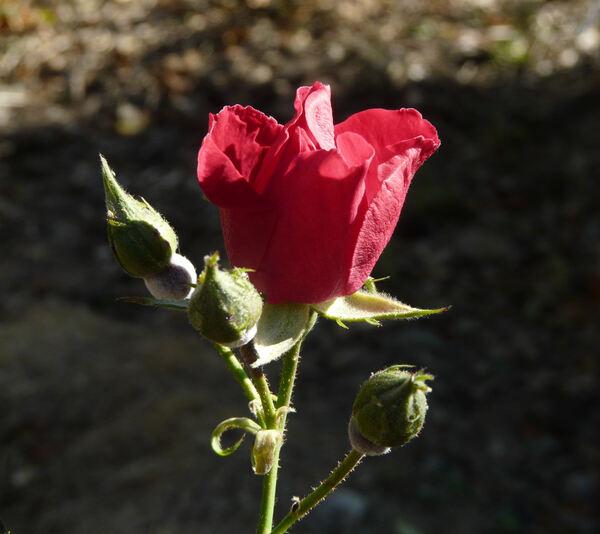 Rosa 'Eva'