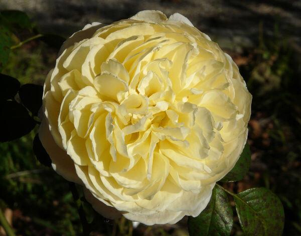Rosa 'Charlotte'
