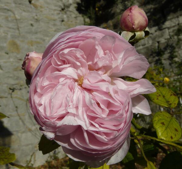 Rosa 'Geoff Hamilton'