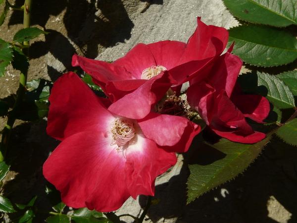 Rosa 'Dortmund ®'