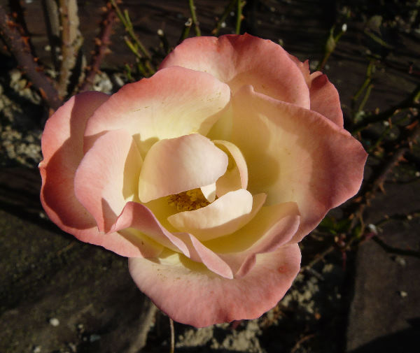 Rosa 'Chicca'