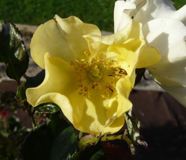 Rosa 'Ali Dorate ®'