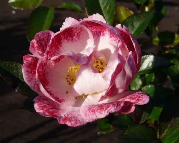 Rosa 'Girlguiding UK Centenary Rose'