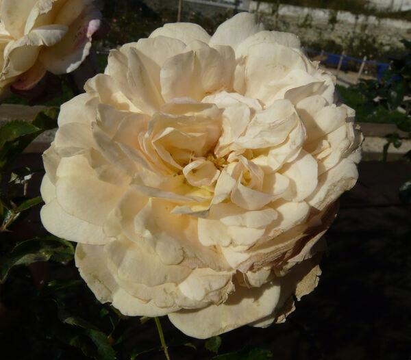 Rosa 'Queen of Hearts ®'