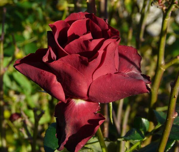 Rosa 'Heinz Winckler'