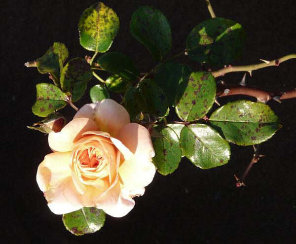 Rosa 'Cervia ®'