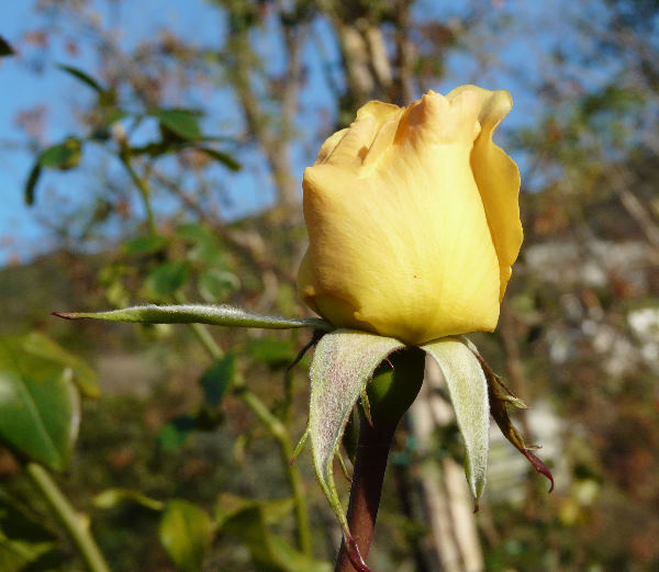 Rosa 'Centennial'