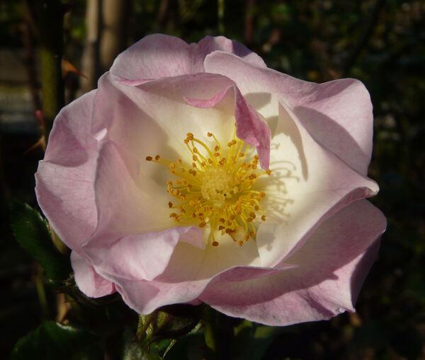 Rosa 'Paris 2000 ®'