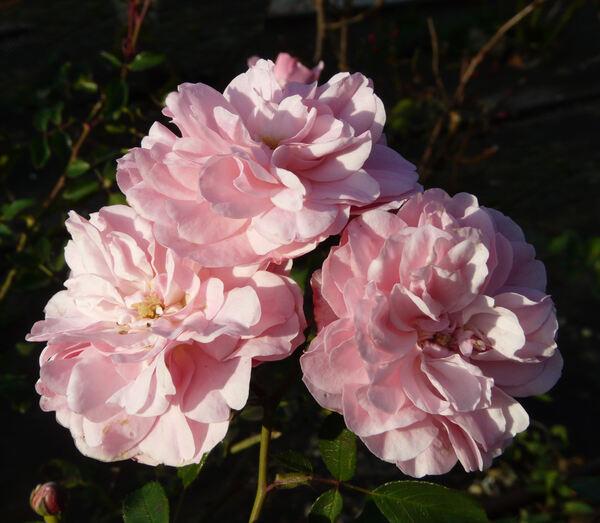 Rosa 'Céline Delbard ®'