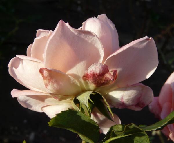 Rosa 'Agnès'