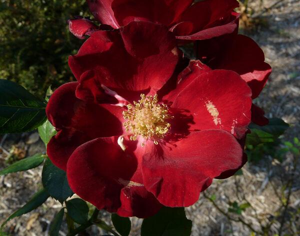 Rosa 'Schwarzer Samt'