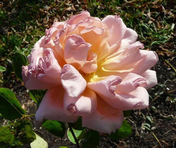 Rosa 'Los Angeles'