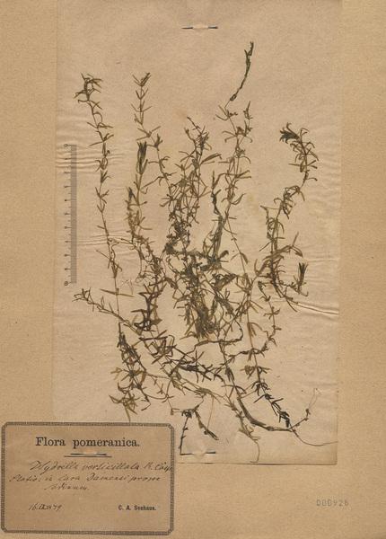 Hydrilla verticillata (L.f.) Royle