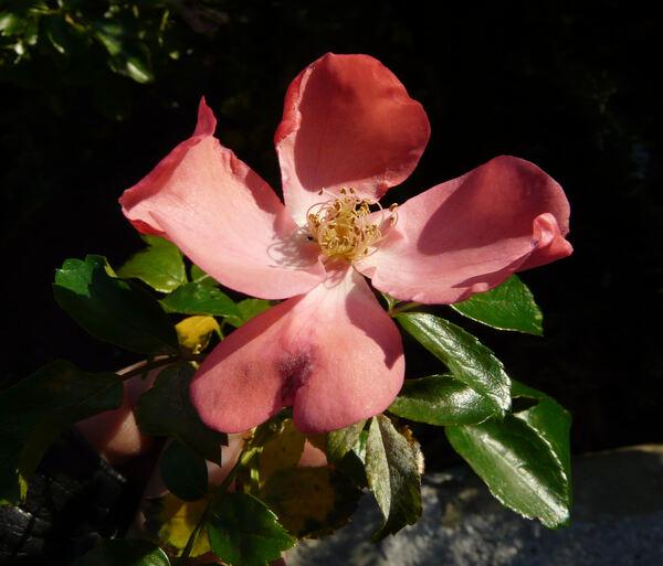 Rosa 'Alafabia ®'