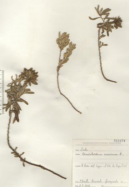Convolvulus cneorum L.