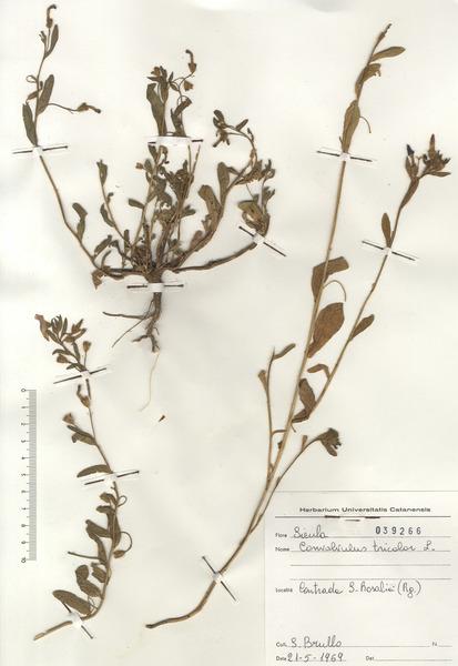 Convolvulus tricolor L. subsp. tricolor