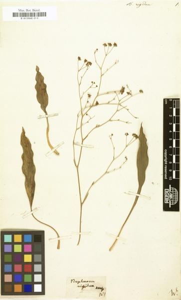 Bupleurum rigidum L. subsp. rigidum