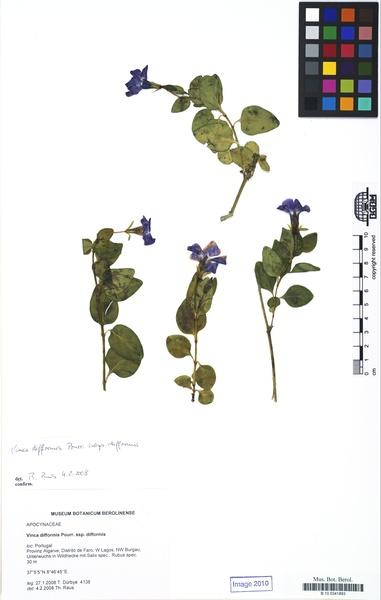 Vinca difformis Pourr. subsp. difformis