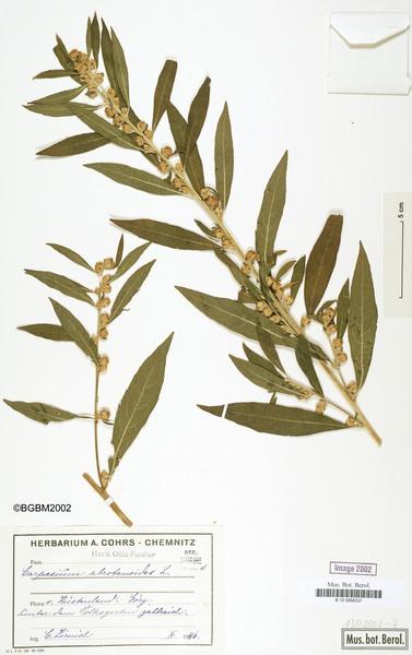 Carpesium abrotanoides L.