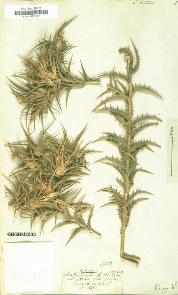 Carthamus dentatus (Forssk.) Vahl