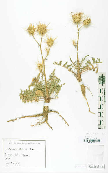 Centaurea iberica Spreng. subsp. iberica