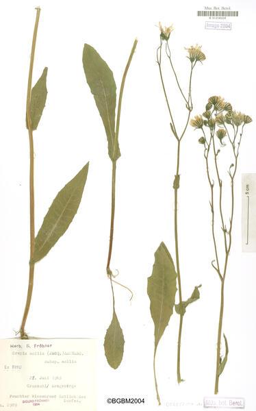 Crepis mollis (Jacq.) Asch.