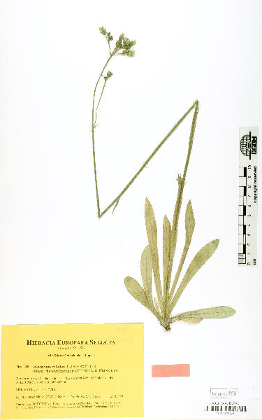Pilosella calodon (Tausch ex Peter) Soják
