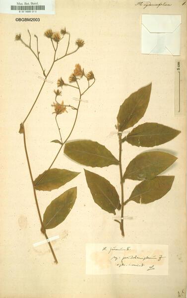 Hieracium cydoniifolium Vill.