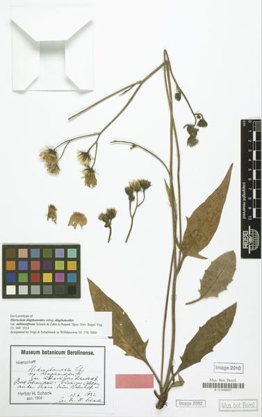 Hieracium diaphanoides Lindeb.
