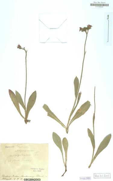 Pilosella fusca (Vill.) Arv.-Touv.