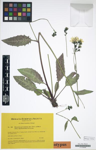 Hieracium grovesianum Arv.-Touv. ex Belli