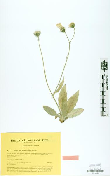 Hieracium kofelicum Gottschl.