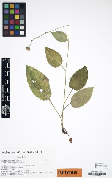 Hieracium arpadianum Zahn