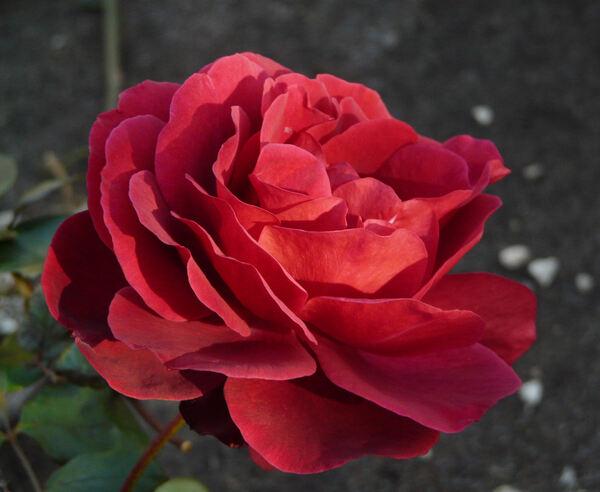 Rosa 'Edith Piaf ®'