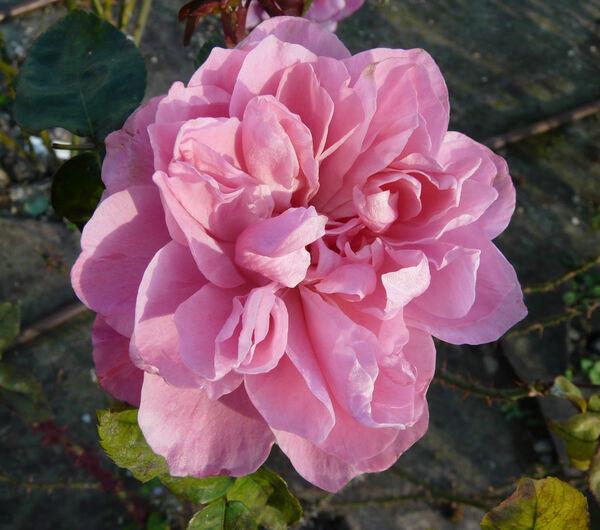 Rosa 'Présent Filial'