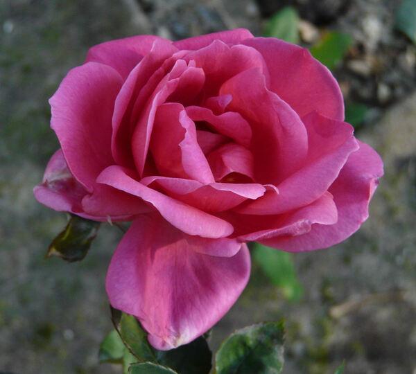 Rosa 'Tango'