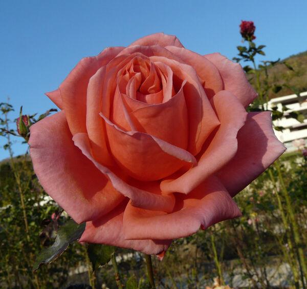 Rosa 'Montagut'