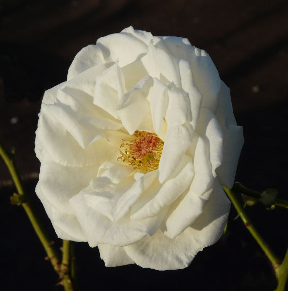 Rosa 'Royal Philharmonic'