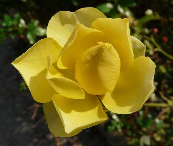 Rosa 'Mizar ®'