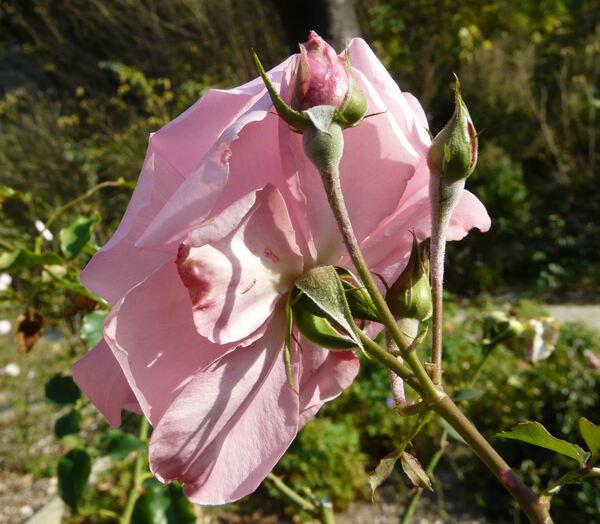 Rosa 'Freia ®'